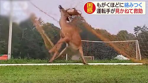 サッカーゴールに絡まる鹿